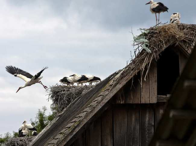 Cigoc village of storks croatia times cigoc village of storks sciox Image collections
