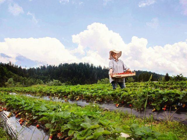 Strawberry Farm Berislava Picek HANZA MEDIA