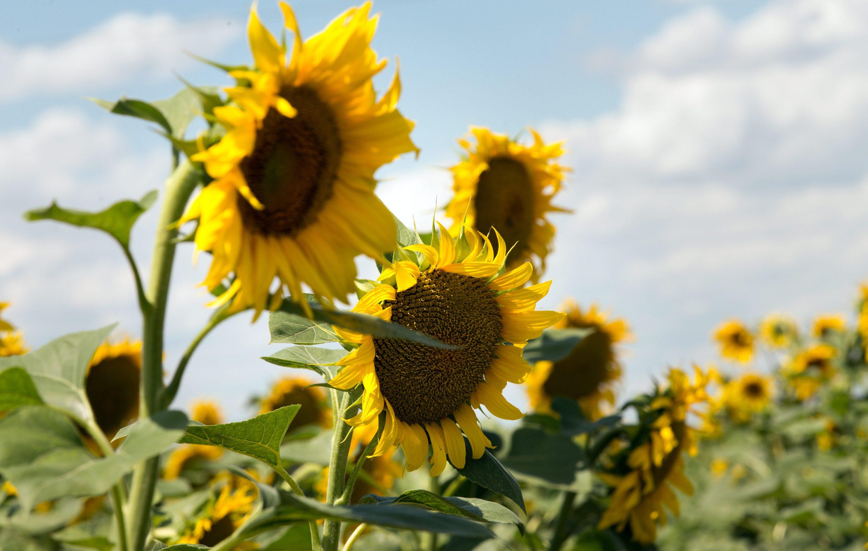 Find Peace In The Croatian Sunflower Fields Croatia Times