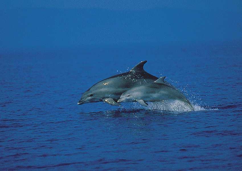 Dolphin Adriatic