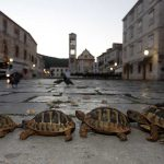 Hvar turtles