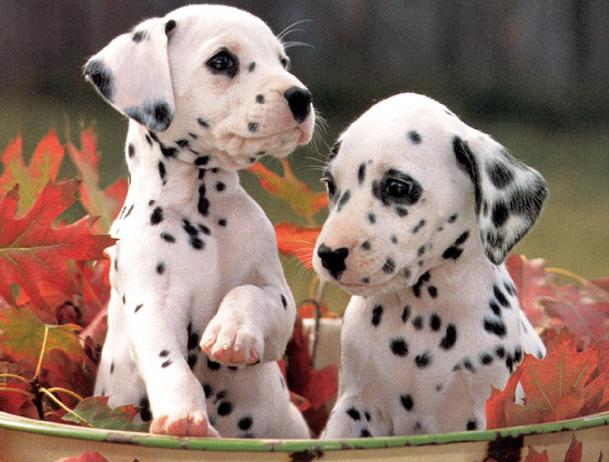 Are Croats eating Dalmatians?