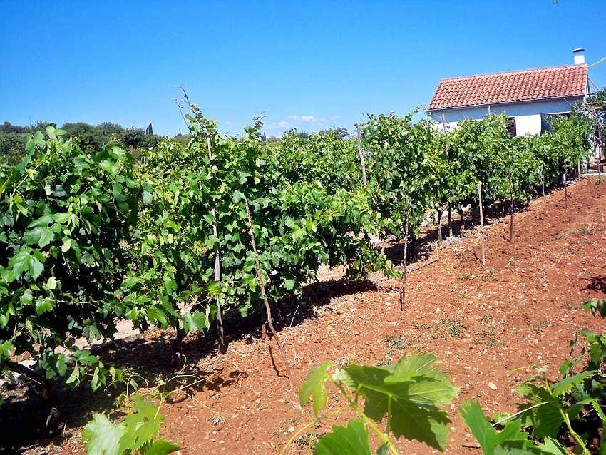 The Vineyard of Pharos