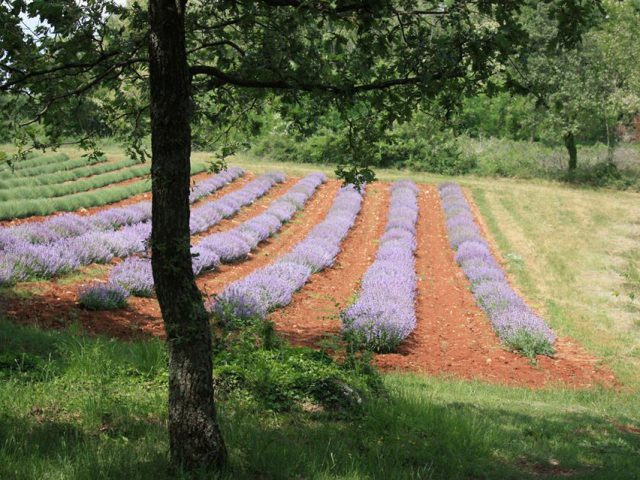Lavender Fields of Deklevi