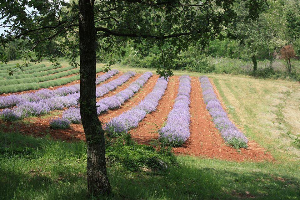 Lavender Fields of Deklevi