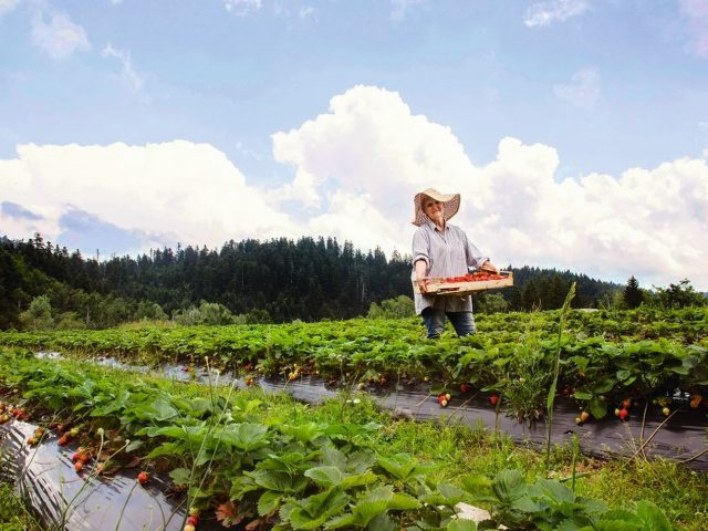 Strawberry Farm Berislava Picek HANZA MEDIA