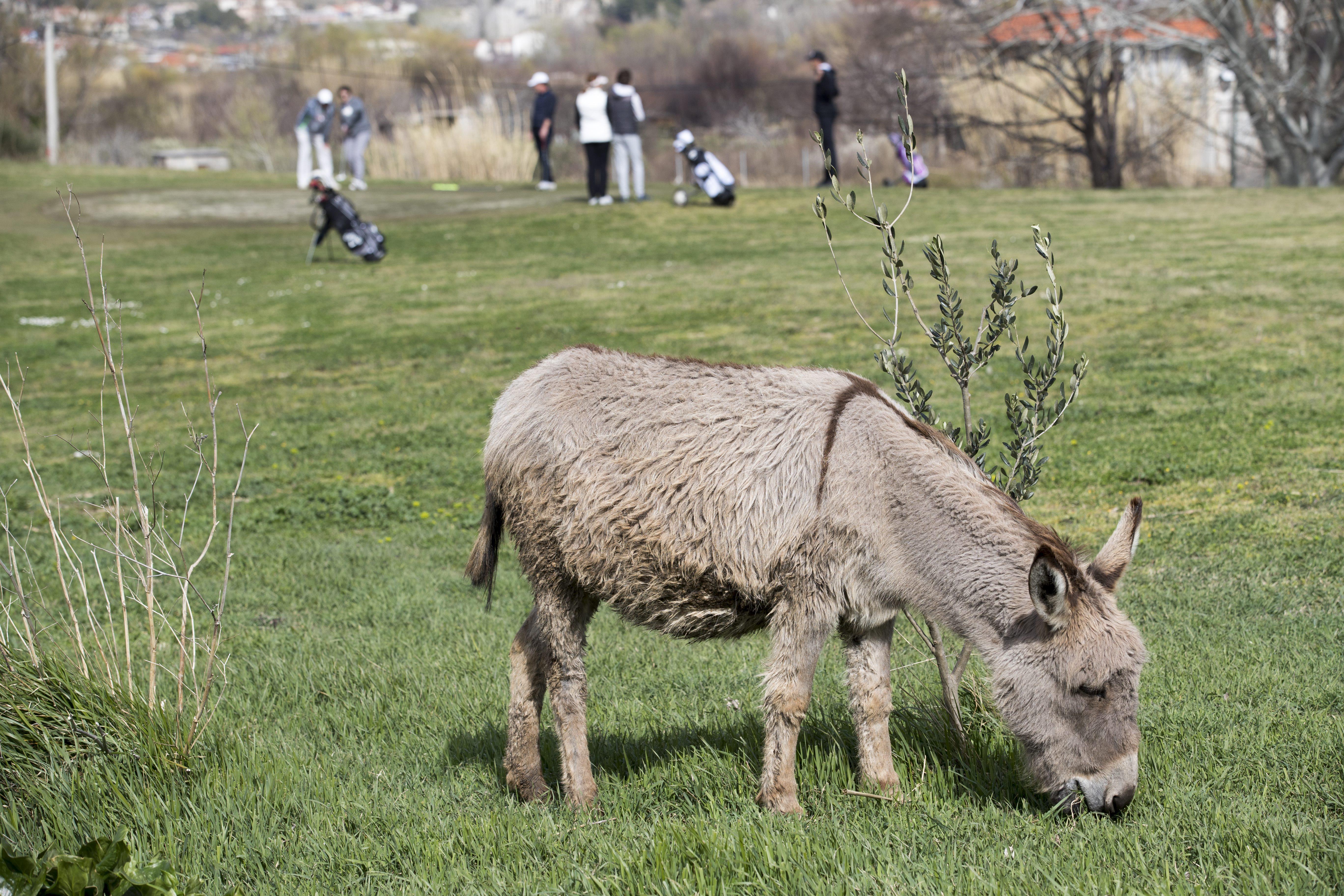 Golf, Donkey, Sport, Field